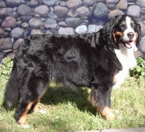 How to Train a Bernese Mountain Dog