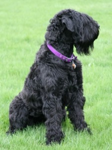 How to Train a Black Russian Terrier