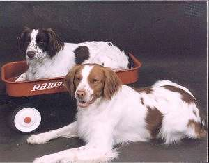 How to Train a Brittany Spaniel