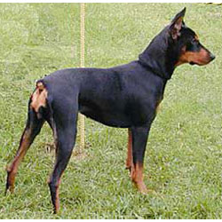 How to Train a German Pinscher