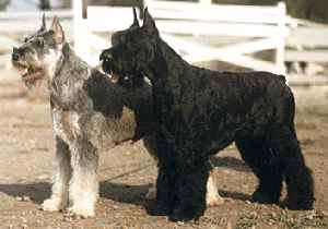 How to Train a Giant Schnauzer