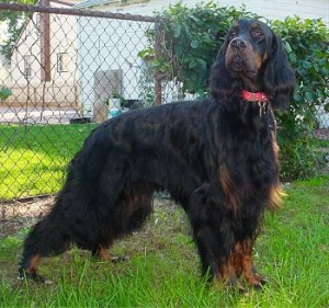 How to Train a Gordon Setter