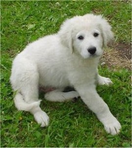 How to Train a Kuvasz