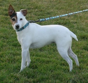 How to Train a Parson Russell Terrier