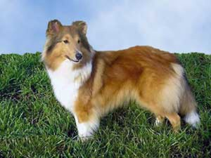 How to Train a Shetland Sheepdog