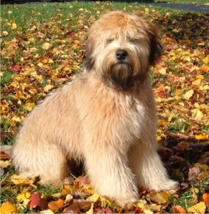 How to Train a Soft Coated Wheaten Terrier