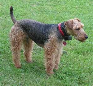 How to Train a Welsh Terrier