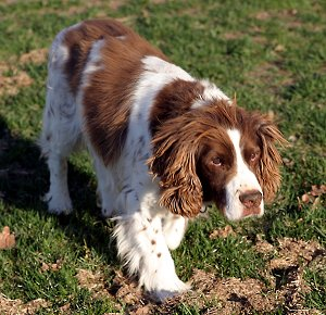 How to Train an English Springer Spaniel