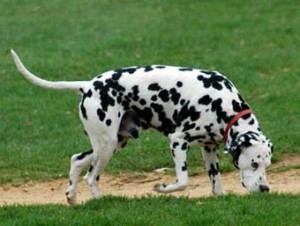How to train a dalmatian