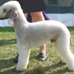 how-to-train-a-bedlington-terrier-150x150