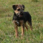 how-to-train-a-border-terrier