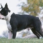 How to train a Boston Terrier