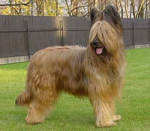 how-to-train-a-briard