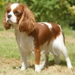 How to Train a Cavalier King Charles Spaniel