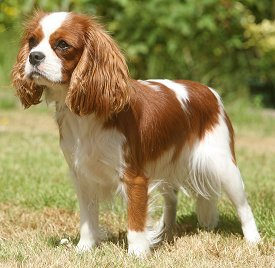 how-to-train-a-cavalier-king-charles-spaniel