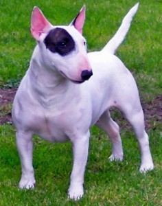 how to train a miniature bull terrier