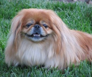 how-to-train-a-pekingese