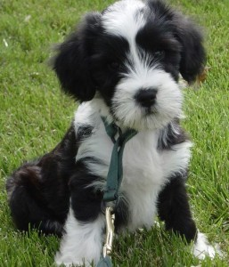 how to train a tibetan terrier
