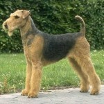 How to train an Airedale