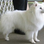 How to train an American Eskimo Dog