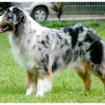 How to train an Australian Shepherd