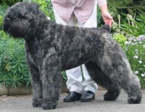 How to Train a Bouvier des Flandres