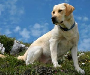 How to Train a Labrador Retriever