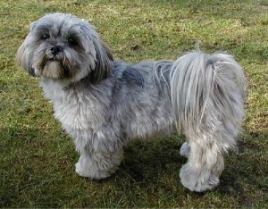How to Train a Lhasa Apso