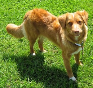 How to Train a Nova Scotia Duck Tolling Retriever