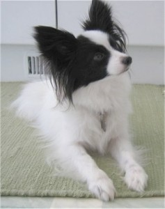 How to Train a Papillon