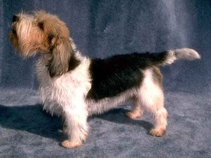 How to Train a Petit Basset Griffon Vendeen