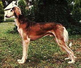 How to Train a Saluki