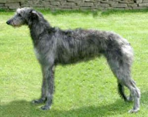 How to Train a Scottish Deerhound