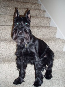 How to Train a Standard Schnauzer