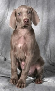 How to Train a Weimaraner