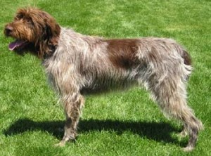 How to Train a Wirehaired Pointing Griffon
