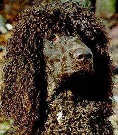 How to Train an Irish Water Spaniel