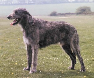 How to Train an Irish Wolfhound