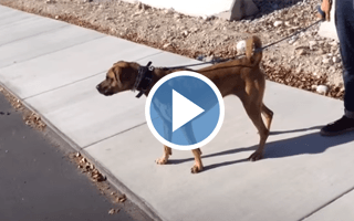 Dog Aggression Case Study- Salt Lake City Dog Trainers- 801-895-2731