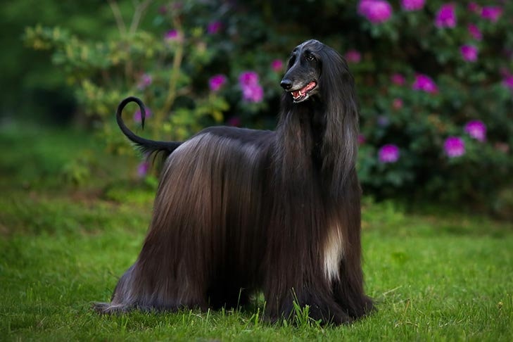 How to Train an Afghan Hound