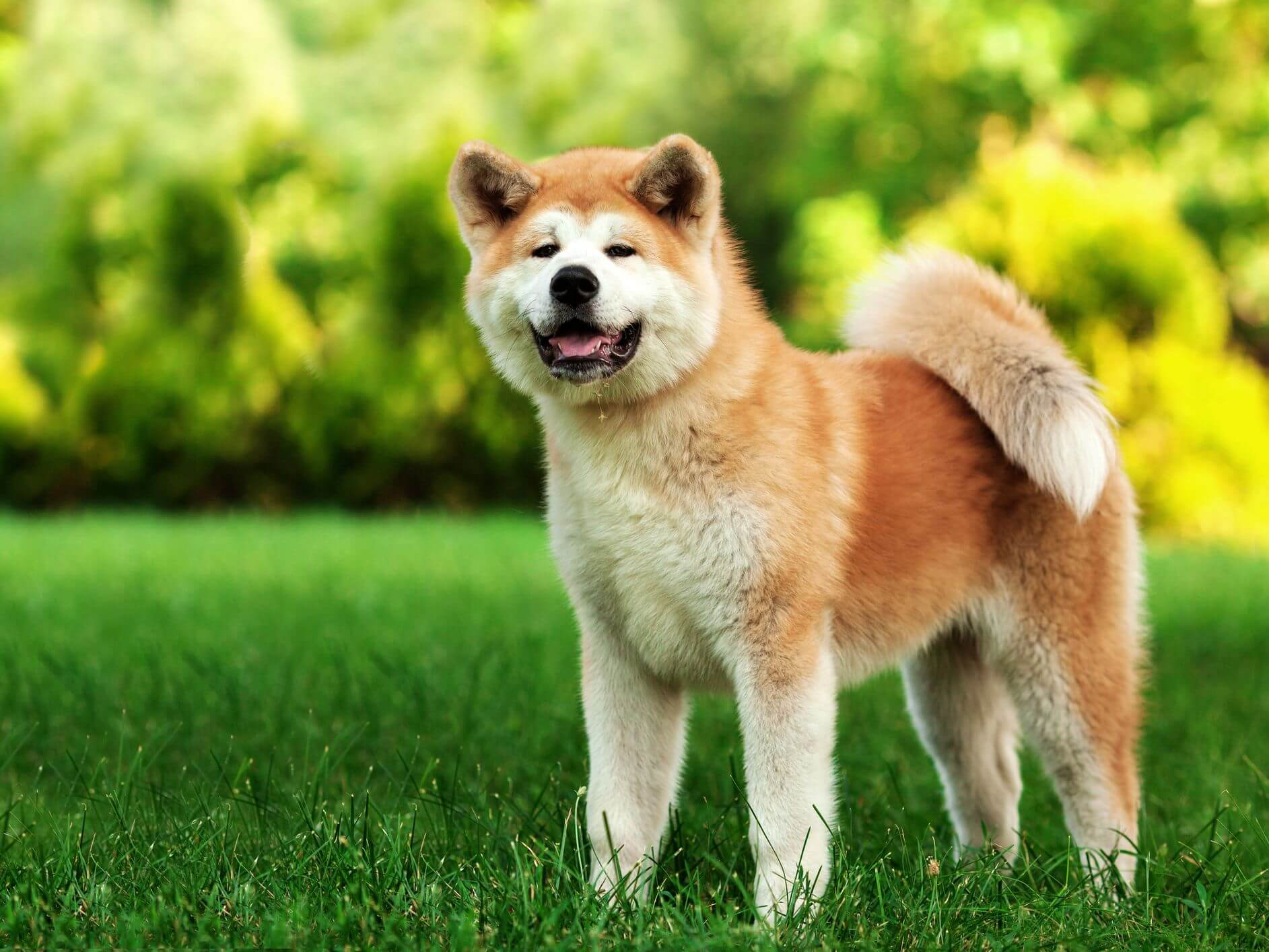 How to Train an Akita