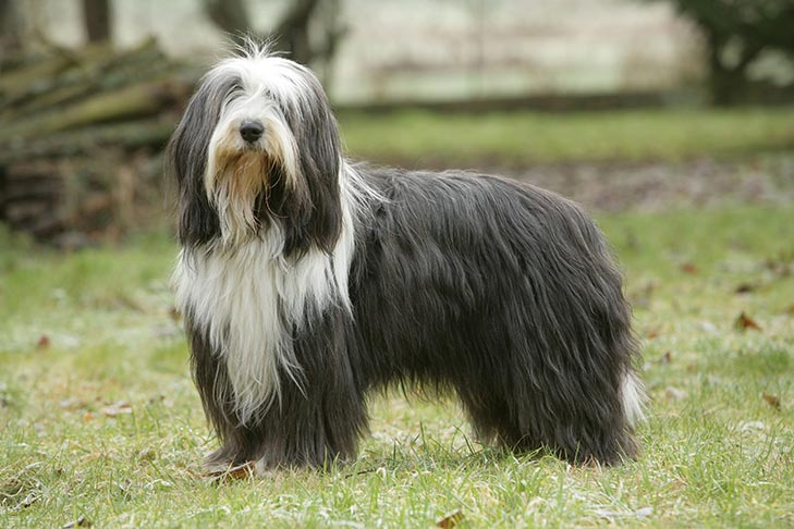 How to Train a Bearded Collie