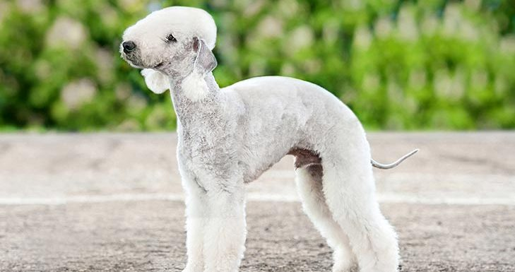 How to Train a Bedlington Terrier
