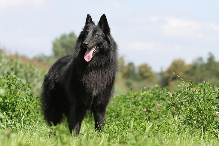 How to Train a Belgian Sheepdog