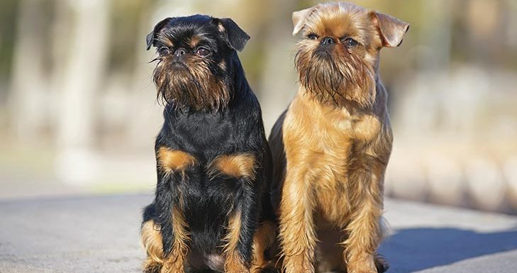 How to Train a Brussels Griffon