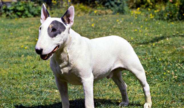 How to Train a Bull Terrier