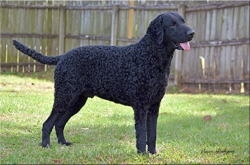How to Train a Curly Coated Retriever