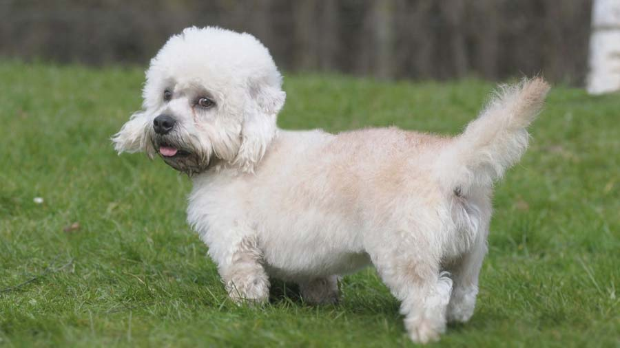 How to Train a Dandie Dinmont Terrier
