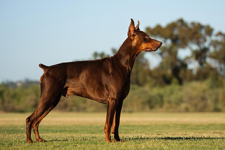 How to Train a Doberman Pinscher