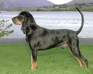 How to Train a Black and Tan Coon Hound